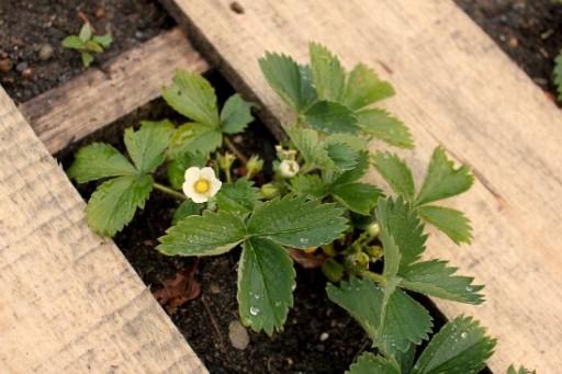 How to DIY wood pallet garden 4