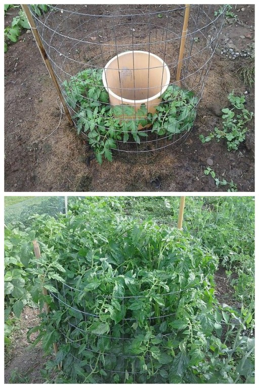 Secret to grow super tomatoes fast