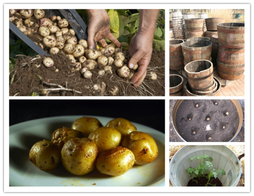 how to grow 100 pounds of potatoes in a barrel