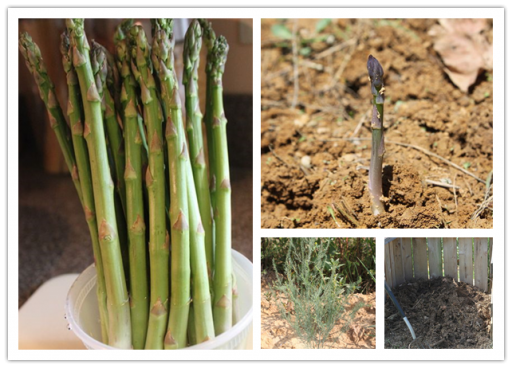 How To Grow Asparagus At Home