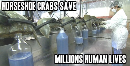 How Human Harvest Horseshoe Crab Blood To Save Human Lives