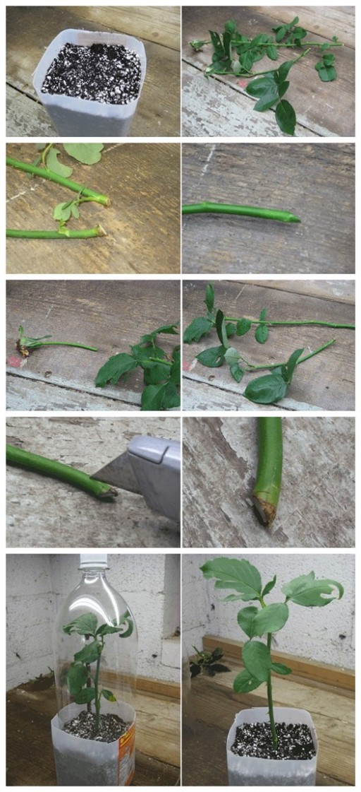 How to Root Roses From Cuttings 2