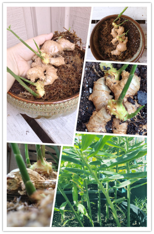 How To Grow Ginger At Home 2