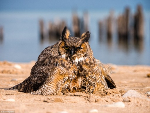Great Horned Owl Swim Across Lake Michigan To Escape Predators 2