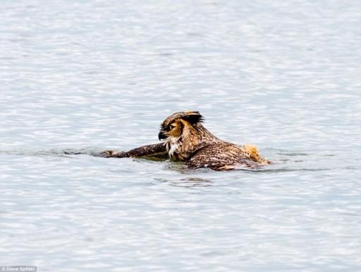 Great Horned Owl Swim Across Lake Michigan To Escape Predators